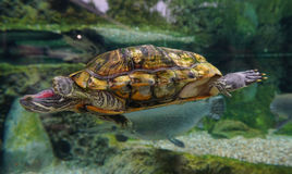 Turtle swimming on the pond. At the park stock photography