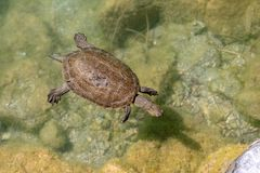 Turtle swimming in a pond. Turtle swimming on the surface of a pond stock images
