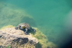 Turtle swimming in a pond. And resting on the surface of a rock royalty free stock photos