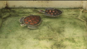 Turtle swimming in pool in conservation area stock video footage