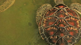 Turtle swimming in pool in conservation area in Phang-Nga South of Thailand stock video footage