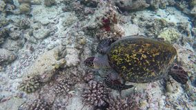 A turtle swimming by a reef stock video footage