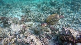 A turtle swimming by a reef. On the Maldives stock video footage