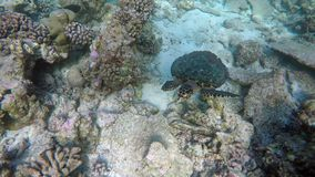 A turtle swimming by a reef. On the Maldives stock footage