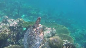 A turtle swimming in the sea. A turtle swimming in a coral reef stock footage