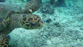 A turtle swimming in the sea. A turtle swimming in a coral reef stock video footage