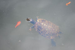 Turtle Swimming. Small turtle swimming in a lake Royalty Free Stock Photography
