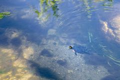 Turtle swimming in a small river royalty free stock photo