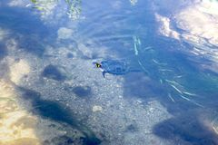 Turtle swimming in a small river stock photography