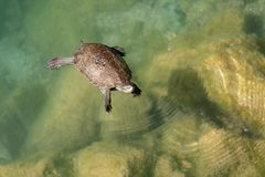 Turtle swimming in a pond. Turtle swimming on the surface of a pond royalty free stock photo