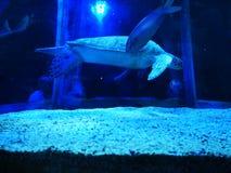 Turtle swimming in tank stock image