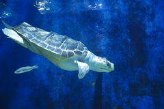 A turtle is swimming in a tank at the zoo. A turtle is swimming in a tank in the zoo royalty free stock photo