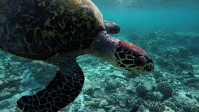 A turtle is swimming to bring air to the water surface stock video footage