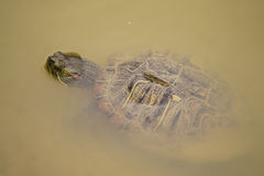 Turtle swimming Royalty Free Stock Images