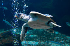 Turtle swimming underwater Stock Images
