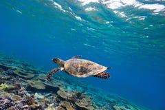 Turtle swimming underwater Stock Photos
