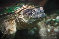 Turtle swimming underwater marine life environment reptile wildlife. Old reptile monster turtle underwater animal swimming in pond environment wildlife nature stock images