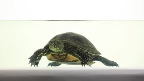 Turtle swimming in water stock footage