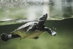 Turtle swimming in the water Stock Photos
