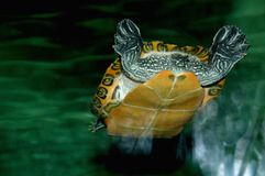 Turtle swimming in the water at the zoo. Picture taken in Spain 2013 royalty free stock images