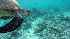 A turtle swims through a coral reef. And emerges to take to the air stock video footage
