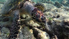 A turtle swims through a coral reef. A turtle swims very close to me through a coral reef stock video