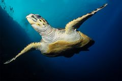 Sea turtle swims in red sea stock images