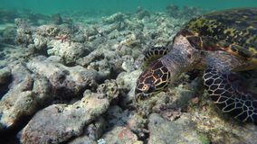 A turtle swims through destroyed coral reefs. Looking for food stock footage