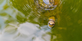 Turtle swims in the green waters. Yellow-headed temple turtle Heosemys annandalii swims closeup through the green waters of the pond of Wat Phai Lom Trat Royalty Free Stock Photography
