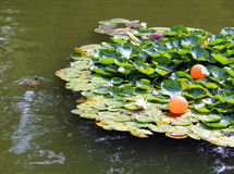 Turtle swims near the blooming water lilies Royalty Free Stock Photography