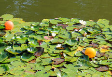 Turtle swims near the blooming water lilies Stock Image