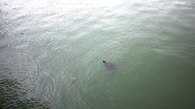 Turtle swims in Park on rainy day. 1920x1080 stock footage