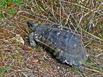 Turtle. In Syngrou park in Athens, Greece Royalty Free Stock Image
