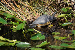 Turtle taking a sunbath Royalty Free Stock Images