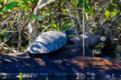 Turtle tanning. The picture shows a turtle sunbathing on a log in a small river royalty free stock photography