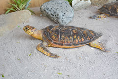 Turtle taxidermy. On the beach Stock Photography