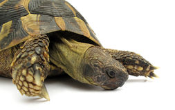 Turtle testudo hermanni tortoise Royalty Free Stock Photos