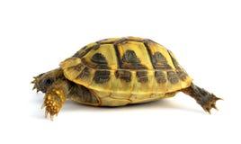 Turtle Testudo hermanni tortoise Stock Images