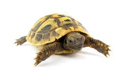 Turtle Testudo hermanni tortoise Royalty Free Stock Photography