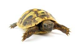 Turtle Testudo Hermanni Tortoise Royalty Free Stock Photography