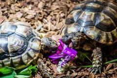 Free Turtle Testudo Marginata European Landturtle Eat 4 Stock Images - 83725154