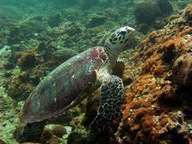 Turtle, Thailand. Turtle in Andaman sea in Thailand Stock Image