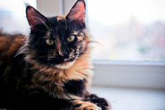 Turtle three color beautiful maine coon cat Royalty Free Stock Photo