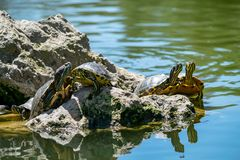 Turtle time out on a rock stock photography