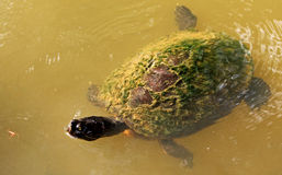 Turtle about to eat a bug. Photo of an adult pond slider turtle swimming and hunting a bug about to eat in a public garden pond. This species of turtle Stock Image