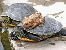 Turtle and Toad. A close tolerance between a turtle and a toad Stock Photos