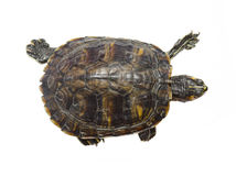 Turtle top view. Turtle walking isolated on a white background royalty free stock photos