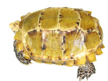 turtle tortoise Royalty Free Stock Photos