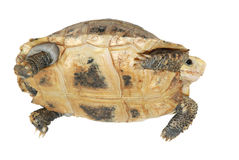 Turtle tortoise. A tortoise isolated in white Stock Photo