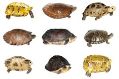 Turtle and tortoise royalty free stock photos